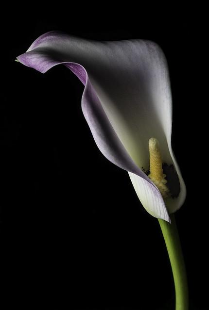 Calla Lily In The Light