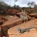Peninsula dragon, male (Ctenophorus fionni)