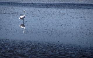 Portraits d'oiseaux : Grande Aigrette - Camargue - France