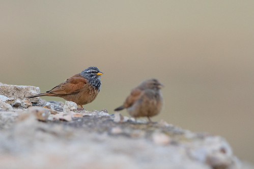 House Bunting - Hausammer | by christianhoefs