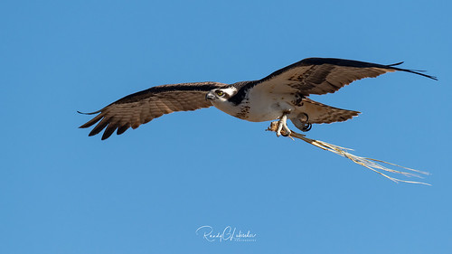 Osprey of the Jersey Shore | 2019 - 3 | by RGL_Photography