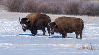 American Bison | by Star Wizard
