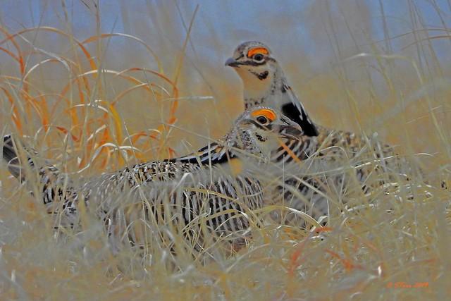 DSCN2731 prairie chickens
