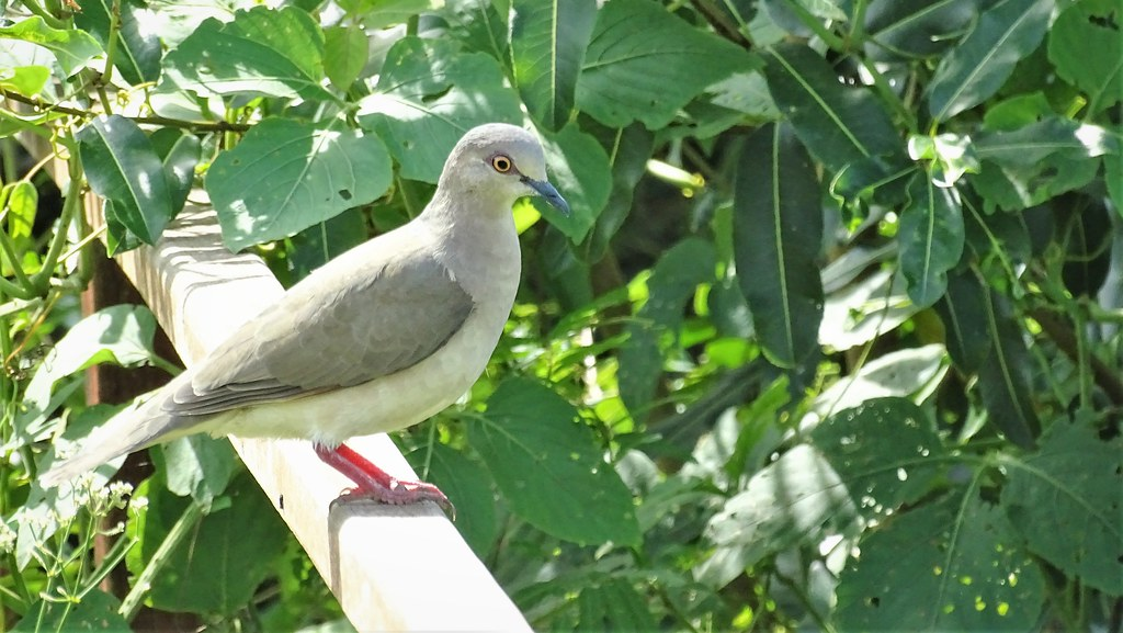 Juriti-pupu - White-Tipped Dove
