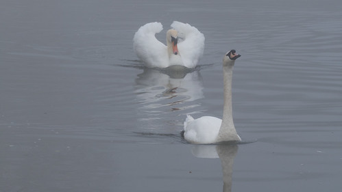 Misty morning swans, boating lake