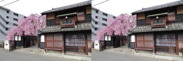 Cherry blossoms at Ishibashi-ya in Sendai, stereo cross view