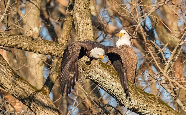 Resident bald eagle pair - Wolfe's Pond Park, Staten Island, New York