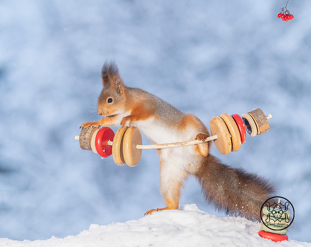 red squirrel standing with weights in the snow