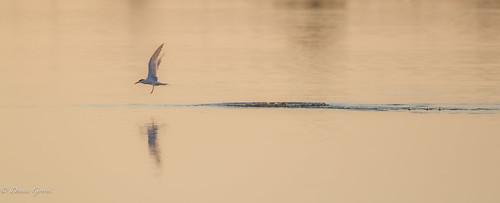 merrittisland action background bird florida landscape sunrise tern water wildlife unitedstatesofamerica us