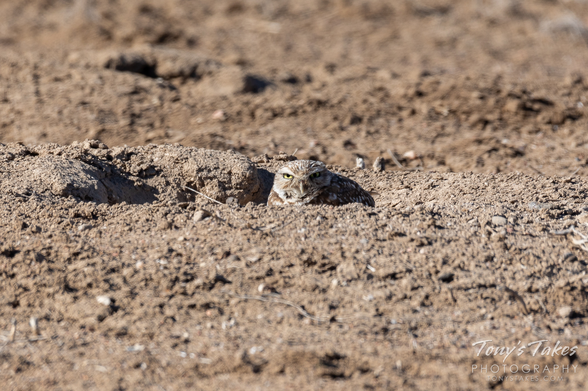 A burrowing owl keeps close watch from its burrow. (© Tony's Takes)
