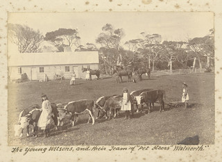 "The young Wilsons and their team of ""Pet Steers"" Woolnorth (c1890) 