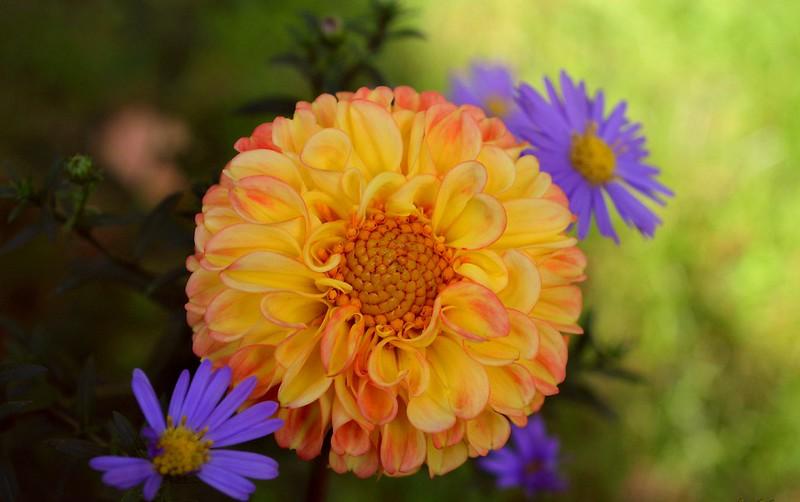 Обои хризантемы, георгина, Georgina, Боке, Bokeh, Chrysanthemum, Желтый цветок, Yellow flower картинки на рабочий стол, раздел цветы - скачать