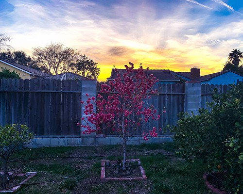 evening relax phone usa life pink blooming bloom trees photography fences clouds backyard garden home plants apple iphonexs spring sunset iphone california arcadia flowers