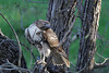 Red-tailed Hawk (Buteo Jamaicensis) by Adventurous Dragon