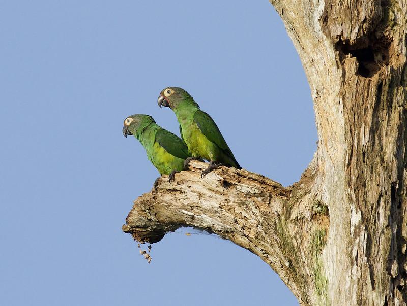 Dusky-headed Parakeet, Aratinga weddellii Ascanio_Peruvian Amazon 199A6030