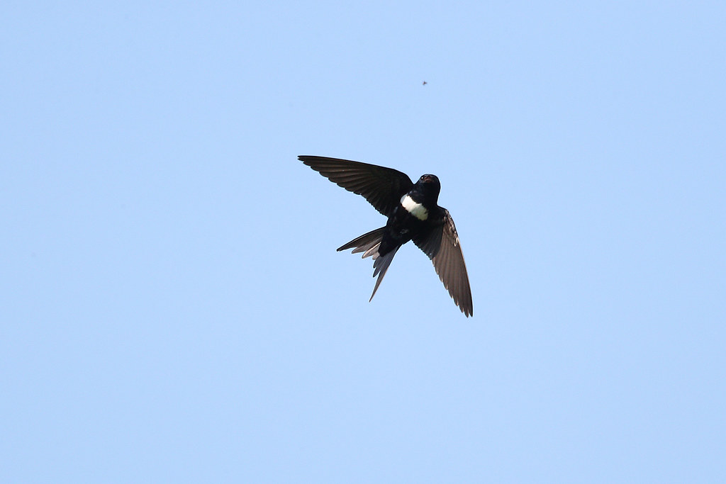 White-banded Swallow