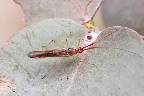 Mirid bug - Zanessa sp
