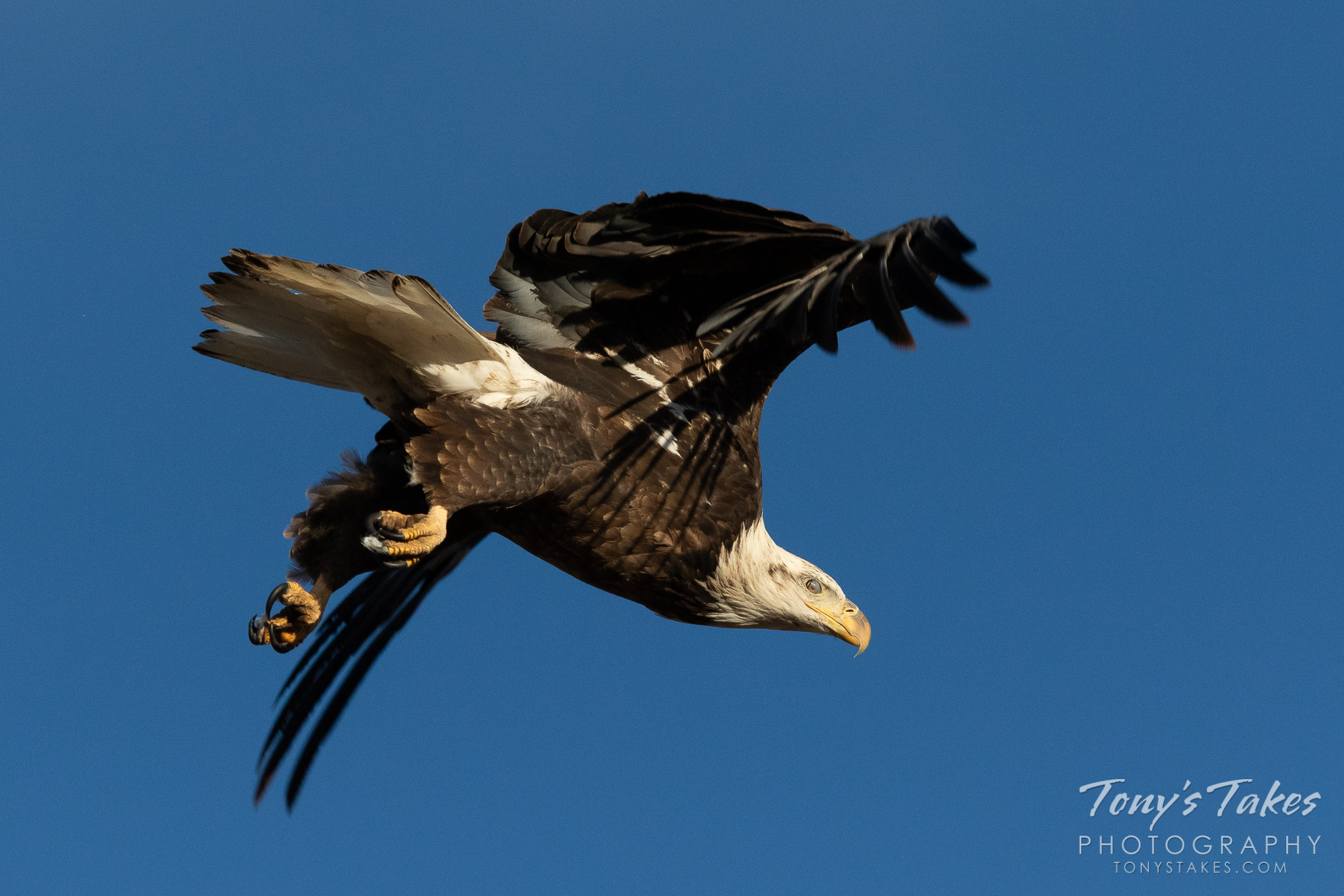On the hunt! A young bald eagle dives toward its prey on the plains of Colorado