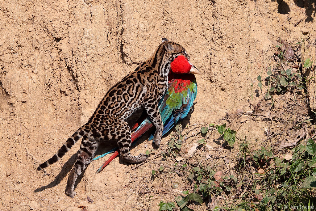 Ocelot With a Red-and-green Macaw