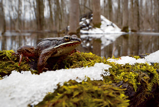 Wood Frog (Lithobates sylvaticus) | by Alex Roukis