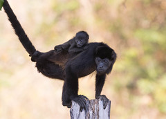 Howler Monkey and baby 9211