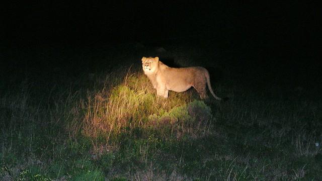 Löwe Lalibela Game Reserve