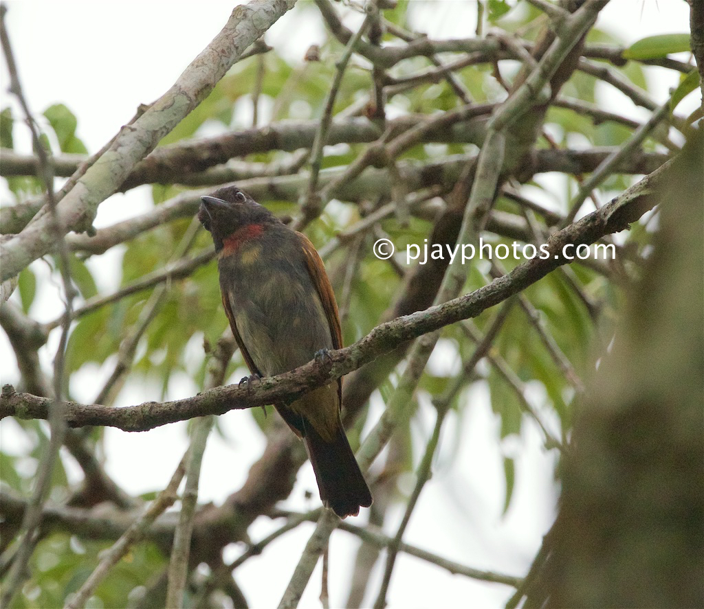 Pink-throated Becard (Pachyramphus minor)