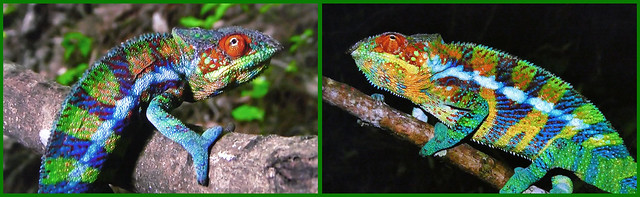 AFRICA - Two chameleons with incredible colors!