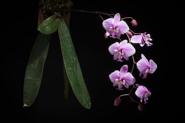 [Mindoro, Philippines] Phalaenopsis schilleriana '#180502' Rchb.f., Hamburger Garten- Blumenzeitung 16: 115 (1860)
