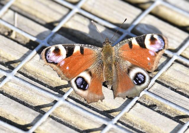 _TRB2185 K  Peacock Butterfly