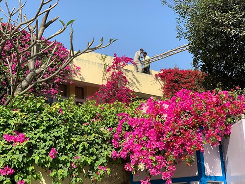 City Season - Bougainvilleas in Bloom, Vasant Vihar