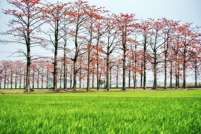 竹塘 木棉花