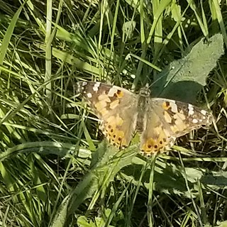 1st confirmed Painted Lady butterfly of the season #mariposa #butterfly #summeriscoming | by karenm97