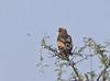 Booted Eagle (Hieraaetus pennatus) by Francisco Piedrahita