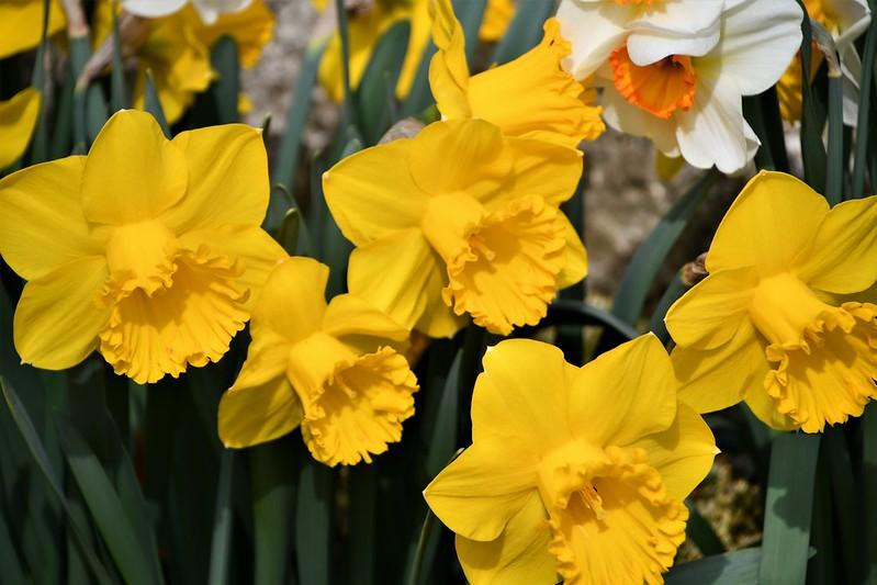 Daffodils 02.04 (9)