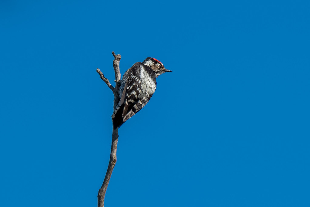Male Lesser Spotted Woodpecker - Pica-pau-galego (macho) - Dencrocopos minor