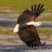 Fish Eagle, Amboseli, Kenya by johnsonjeffrey11