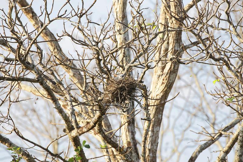 Plumbeous Kite, Ictinia plumbea nesting Colombia_Ascanio199A2421