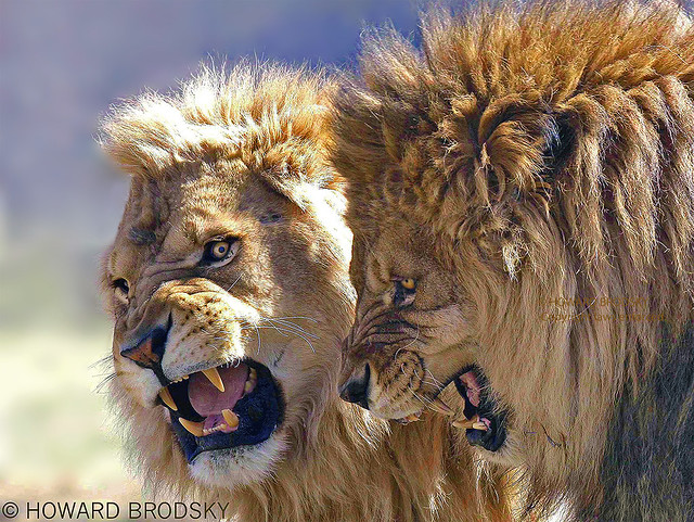 Two Male Lions ( Father & Son ) having a moment (Archives  2006)
