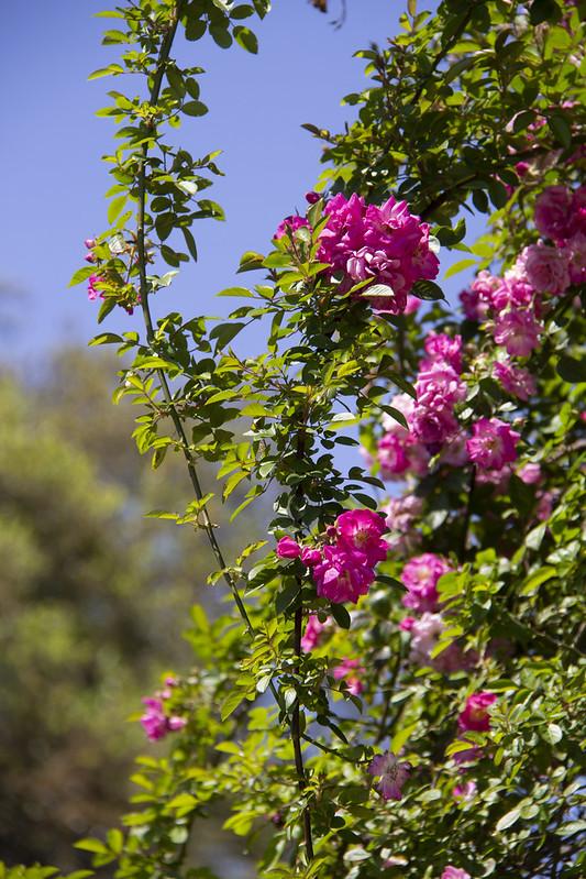 Hermann Park Blooms_17