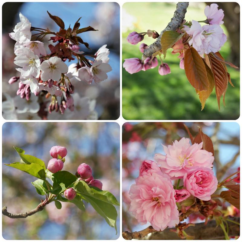 sakura ohanami* 47454763882_1485ccb8b2_c
