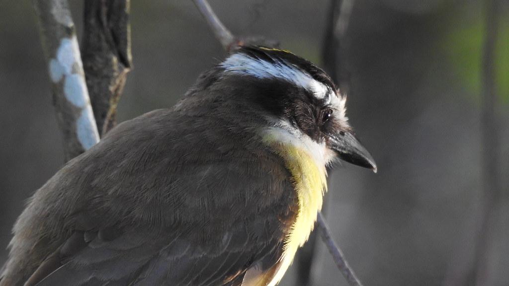 Bentevizinho-do-brejo - Lesser Kiskadee