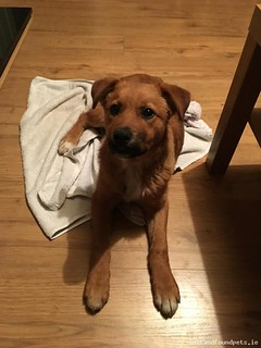 [Surrendered to Pound] Tue, Jan 22nd, 2019 Found Female Dog - Athgoe,  Newcastle, Dublin