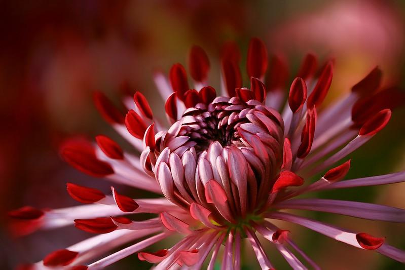 Обои цветок, макро, фон, лепестки, красная, алая, георгина, сорт картинки на рабочий стол, раздел цветы - скачать