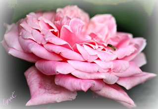 A pink rose from the archives.   by Lynn English