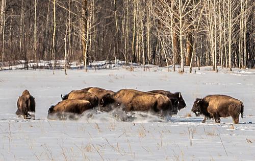 Buffalo Stance