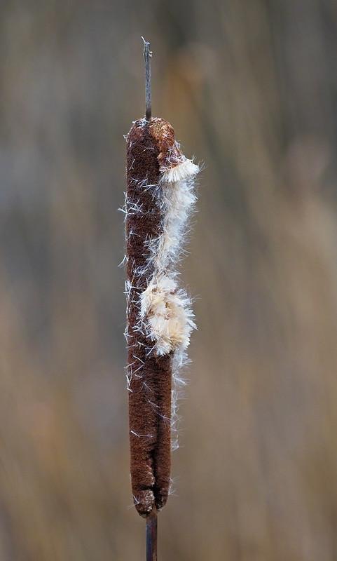 Reed mace