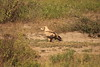 Tawny eagle pale form Ndutu, Ngorongoro Conservation Area, Tanzania by inyathi