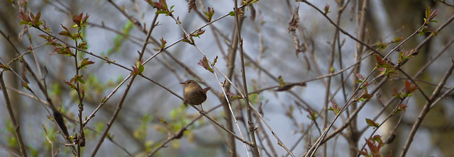 A large Pano of a small Wren, but it still fills the screen?