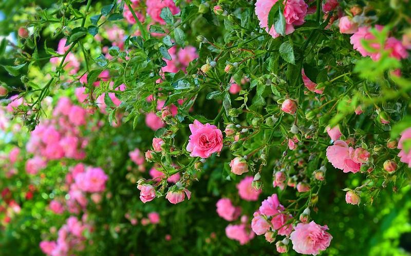 Обои Кусты, Pink roses, Розовые розы картинки на рабочий стол, раздел цветы - скачать